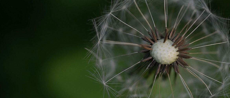 dandelion-slide